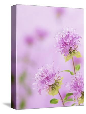 Bee Balm or Bergamot Flowers (Monarda Fistulosa), North America