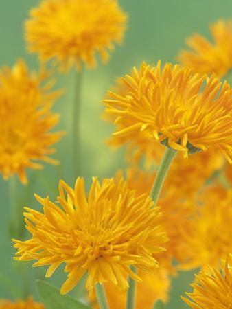 Calendula Flowers (Calendula Officinalis), Porcupine Variety by Wally Eberhart