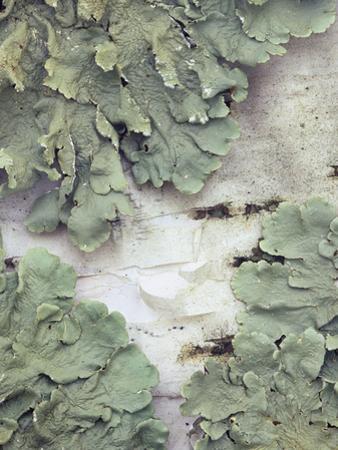 Green Shield Lichen (Flavoparmelicaperata) Growing on Birch Tree Bark by Wally Eberhart