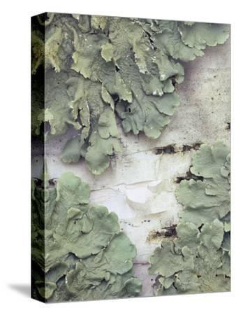 Green Shield Lichen (Flavoparmelicaperata) Growing on Birch Tree Bark
