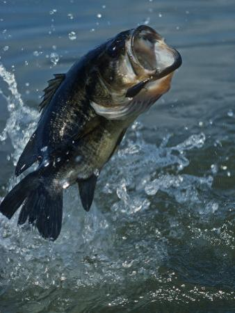 Largemouth Bass Jumping, Diving for Lure by Wally Eberhart
