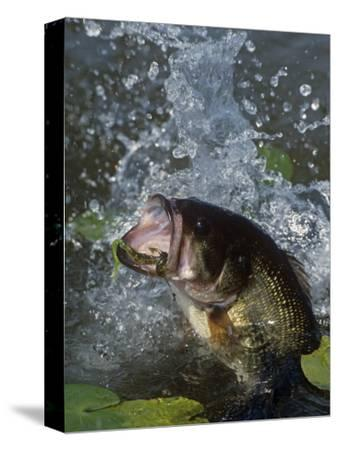 Largemouth Bass, Plastic Lure, Lily Pads