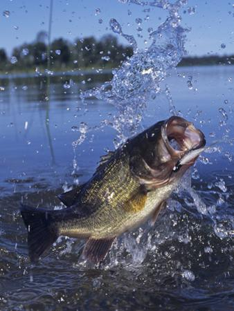 Largemouth Bass Surfacing with a Lure in its Mouth by Wally Eberhart