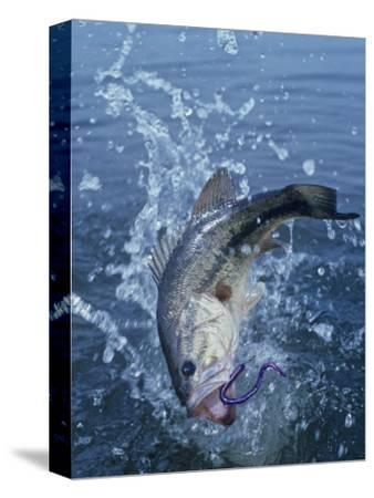 Largemouth Bass with Plastic Worm Jumping
