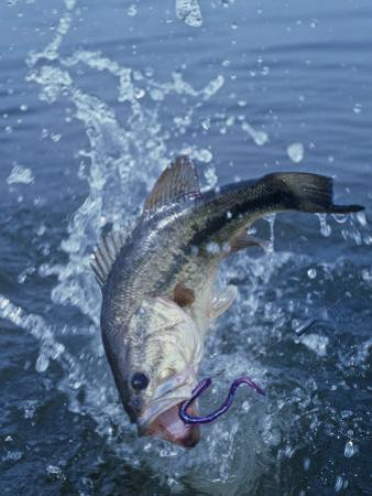 Largemouth Bass with Plastic Worm Jumping by Wally Eberhart