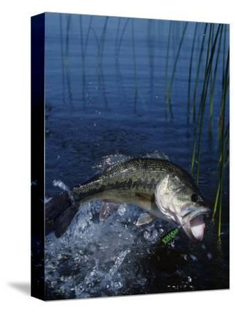 Largemouth Bass with Surface Lure Jumping