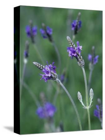 Lavender Flowers (Lavandula Multifida), Spanish Eyes Variety