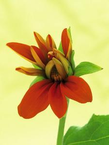 Mexican Sunflower by Wally Eberhart