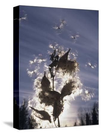 Milkweed Seeds Dispersed by Wind