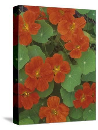 Nasturtium Flowers (Trapaeolum), Dwarf Whirlybird Variety