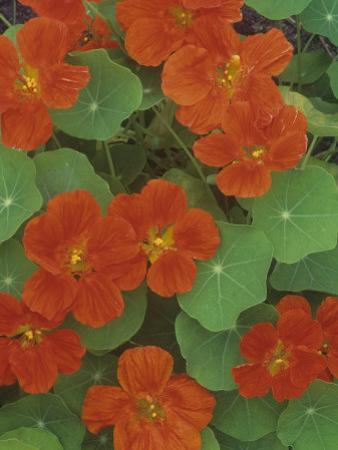 Nasturtium Flowers (Trapaeolum), Dwarf Whirlybird Variety by Wally Eberhart