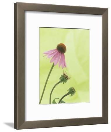 Progressive Opening of Echinacea Flowers