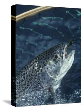Rainbow Trout Being Netted with a Lure in its Mouth