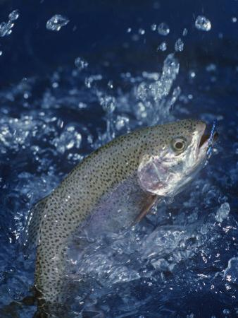 Rainbow Trout by Wally Eberhart