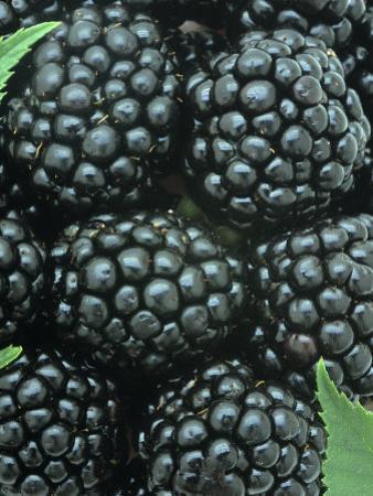 Smooth Blackberry Harvest (Rubus Canadensis), Eastern North America by Wally Eberhart