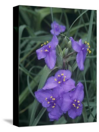 Spiderwort (Tradescantia Bracteata), North America