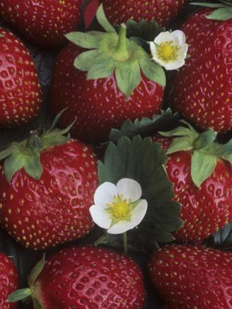 Strawberries, 'sparkle' Variety by Wally Eberhart