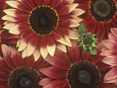 Sunflowers (Helianthus Annus), Razzmatazz Variety by Wally Eberhart