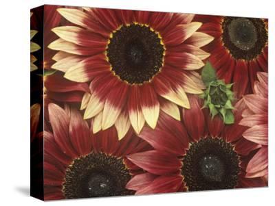 Sunflowers (Helianthus Annus), Razzmatazz Variety