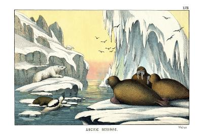 Walrus, 1860--Giclee Print