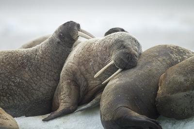 Walrus Herd on Iceberg, Hudson Bay, Nunavut, Canada-Paul Souders-Photographic Print