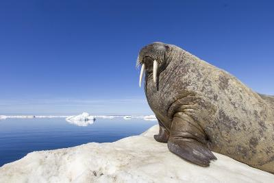 Walrus on Iceberg, Hudson Bay, Nunavut, Canada-Paul Souders-Photographic Print