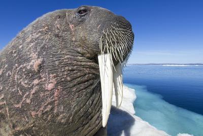 Walrus on Iceberg, Hudson Bay, Nunavut, Canada-Paul Souders-Photographic Print