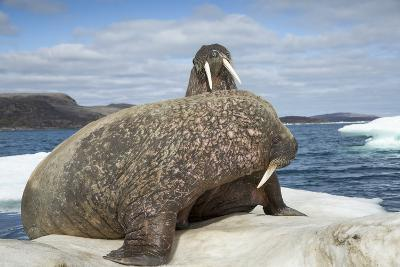 Walrus Resting on Ice in Hudson Bay, Nunavut, Canada-Paul Souders-Photographic Print