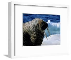 Walrus, Sunbathing, Nunavut, Canada-Gerard Soury-Framed Photographic Print
