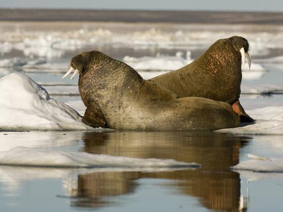 Walruses (Odobenus Rosmarus) Resting on Ice Floe-Louise Murray-Photographic Print