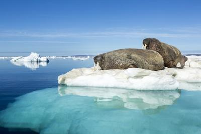 https://imgc.artprintimages.com/img/print/walruses-on-iceberg-hudson-bay-nunavut-canada_u-l-pzqlp70.jpg?p=0