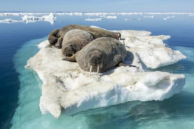 Walruses on Iceberg, Hudson Bay, Nunavut, Canada-Paul Souders-Photographic Print