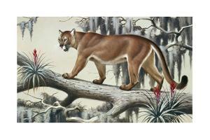 A Puma Slinks Along a Log in Moss-Hung Everglades by Walter A. Weber