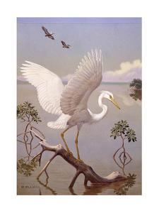 Great White Heron, White Morph of Great Blue Heron, Spreads its Wings by Walter A. Weber