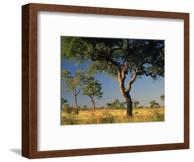Acacia Trees, Kruger National Park, South Africa