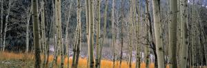 Aspen Trees, Colorado, USA by Walter Bibikow