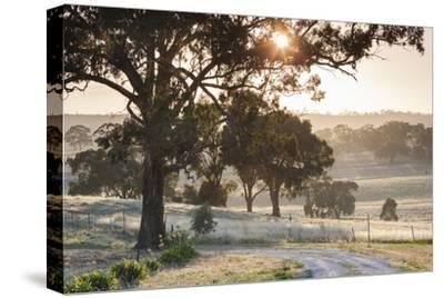 Australia, Clare Valley, Clare, Gum Trees by Brooks Lookout, Dawn