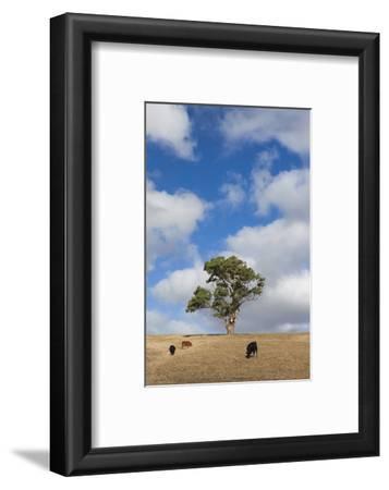 Australia, Fleurieu Peninsula, Normanville, Field with Cows