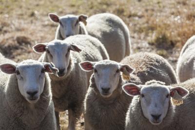 Australia, Victoria, Yarra Valley, Sheep Farm