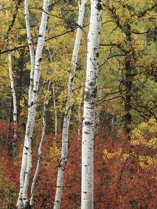 Black Hills Area Custer State Park, Autumn Foliage, South Dakota, USA by Walter Bibikow
