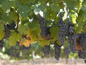 Chardonnay Grapes, Yountville, Napa Valley, California by Walter Bibikow