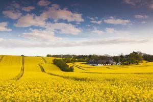 Denmark, Mon, Magleby, Farm and Rapeseed Field, Springtime, Dusk by Walter Bibikow