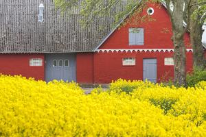 Denmark, Zealand, Olstykke, Red Farm and Yellow Rapeseed Flowers, Springtime by Walter Bibikow