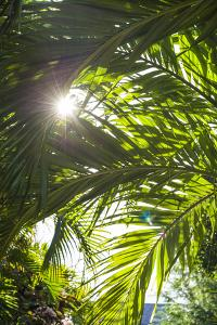 French West Indies, St-Barthelemy. Gustavia, palm tree by Walter Bibikow