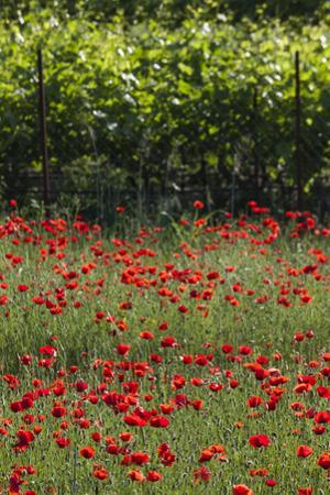Greece, Central Macedonia, Dion, Poppy Field