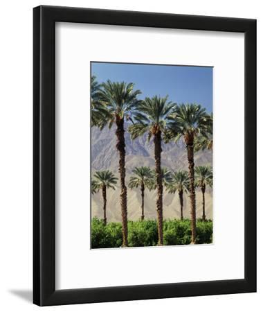 Grove of Date Palms, Coachella, California, USA