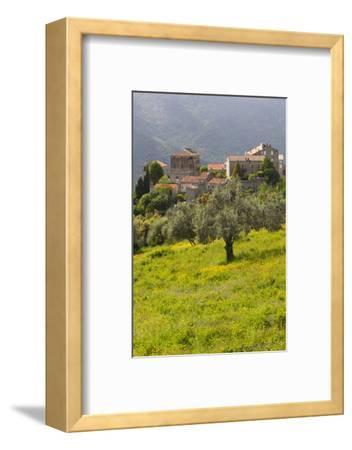 Olive Groves, Ste-Lucie De Tallano, Corsica, France