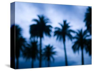 Palms along Ocean Avenue, Santa Monica, Los Angeles, California, USA
