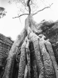 Tree Ta Prohm, Angkor, Cambodia by Walter Bibikow