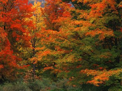View of Autumn Forest, Vermont, USA by Walter Bibikow